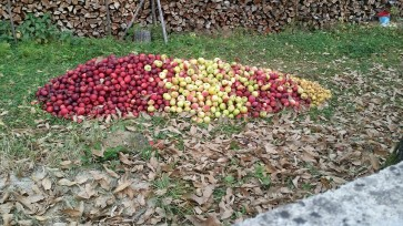 Apples are stacked everywhere. If they weren't on the ground, they were in large white plastic sacks